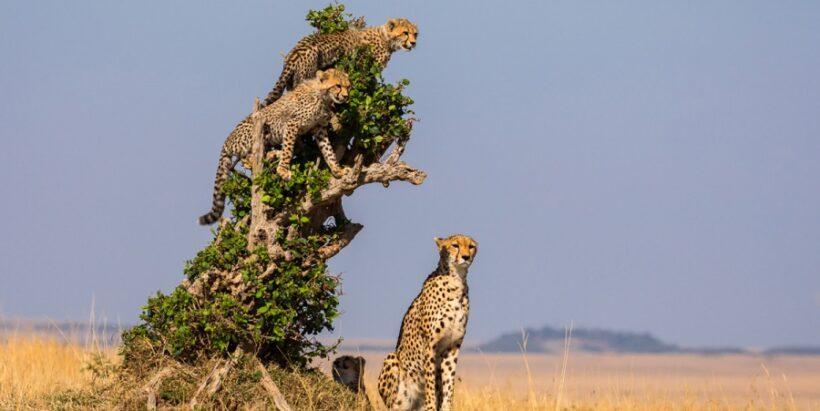 cheetah-Mara