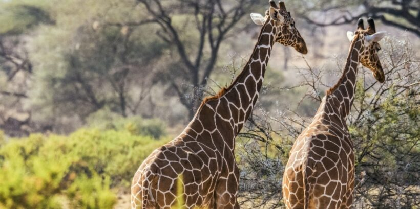 samburu-giraffes