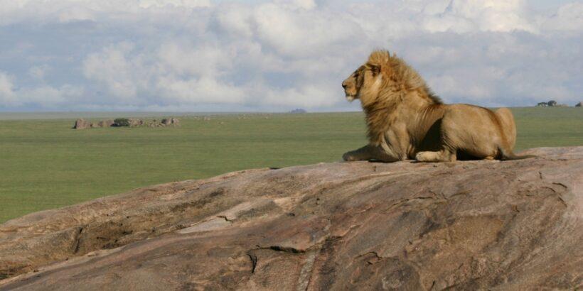 serengetie-lion