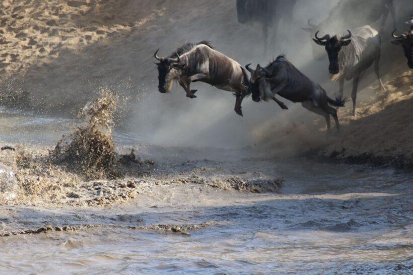 Wildlife Kenya Safari- Wildebeast crossing in Mara River