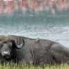 Lake-Nakuru-buffalo