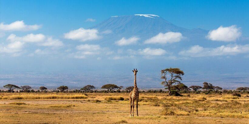Amboseli-giraffe