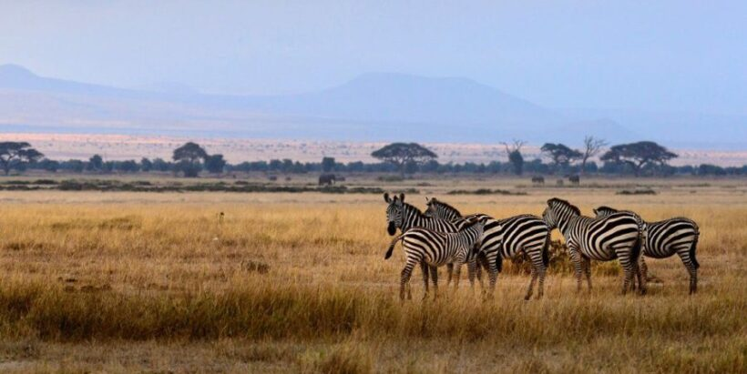 Amboseli-zebras