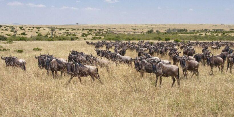 Mara-wildebeest