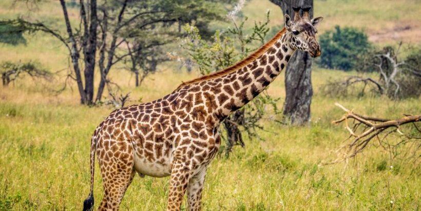 Masai_Mara_Giraffe