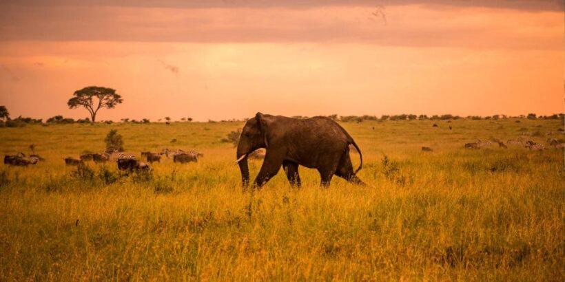 Serengeti-elephant