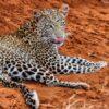 leopard-Tsavo-East
