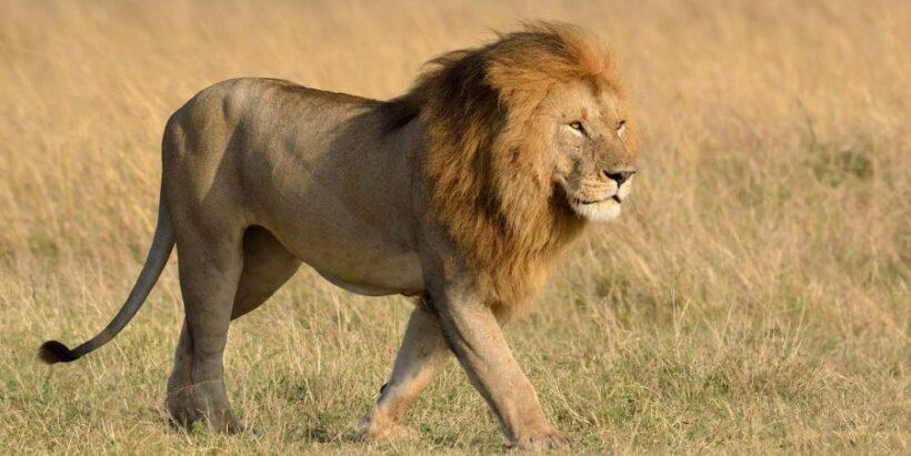 mara-lions