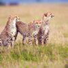 serengeti-cheetahs