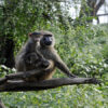 Baboon-Nakuru-Son of Groucho