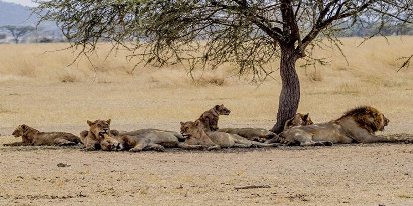 Family-Lions-Resting-Masai-Mara-Kenya-Africa-Esin Üstün