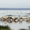 Pelicans-Lake-Nakuru-Kenya-Africa-Son of Groucho