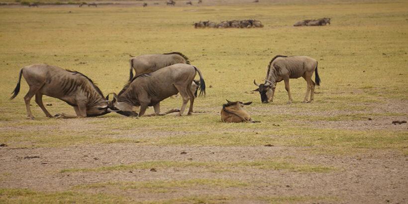 Wildebeest-Amboseli-Kenya-Africa-Neil Ransom
