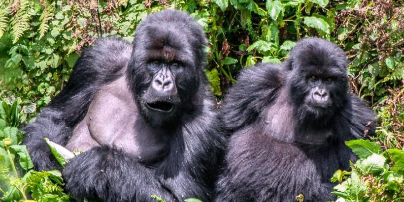 gorillas-of-Bwindi