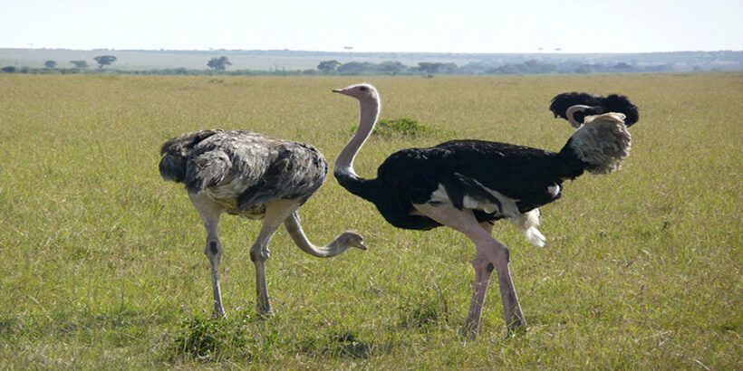 nature-grass-bird-Ostrich-animal-travel