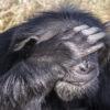 Chimp-Ol-Pejeta-Kenya-Africa