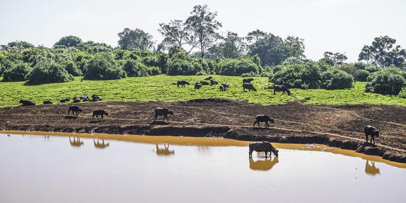 Courteous-Nina-Aberdare-Waterhole-Buffalo-Kenya-Africa