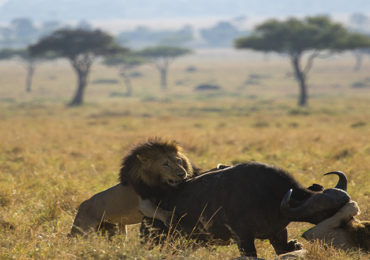 Lion-king-of-the-jungle-hunting-a-cape-african-buffalo-in-masai-mara-national-reserve