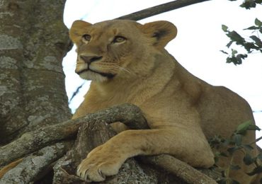A lioness captured resting on a tree in Masai Mara with tourist on a safari