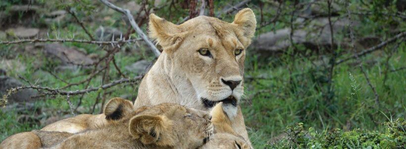 lions-Mara.jpg